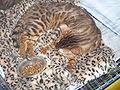 MTP Cat Show 2230011.JPG