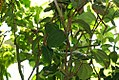 Macleania coccoloboides 0zz.jpg
