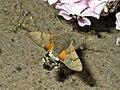 Macroglossum stellatarum (Sphingidae) (Humming-bird Hawk Moth) - (imago), Lent, the Netherlands.jpg