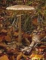 Macrolepiota procera 1.jpg