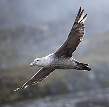 Macronectes halli -Godthul, South Georgia, British Overseas Territories, UK -flying-8.jpg
