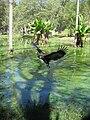 Madagascar fish eagle.jpg