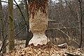 Made by beavers - panoramio.jpg