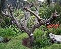 Madeira, Palheiro Gardens - Erythrina crista-galli IMG 2331.JPG