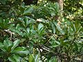 Madhuca ¿ neriifolia ? (16187704516).jpg