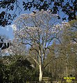 Magnolia (stitched) (SG) (26226880511).jpg