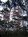 Magnolia acuminata en fleur parc floral Paris.JPG