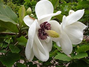 Magnolia sieboldii var. sieboldii, schraubig angeordnete Blütenorgane in Vielzahl.