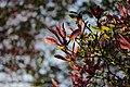 Magnolia sp. (39835608030).jpg