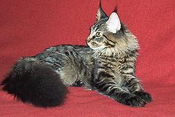 Sześciomiesięczny kot rasy Maine Coon.