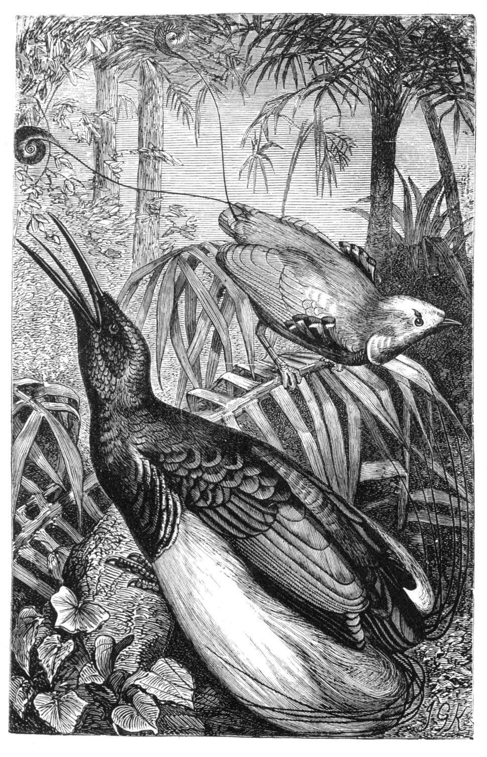 Malay Archipelago King and Twelve-wired Birds of Paradise