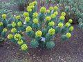 Malpighiales - Euphorbia characias ssp. wulfenii - kew 1.jpg