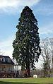Mammutbaum Meerholz, 4.jpg