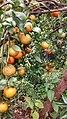 Mandariny paofaka.jpg