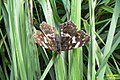 Map butterfly (NH) (7859077542).jpg