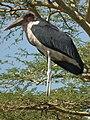 Marabou Stork Leptoptilos crumeniferus in Tanzania 3611 cropped1 Nevit.jpg