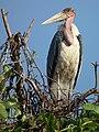 Marabou Stork Leptoptilos crumeniferus in Tanzania 4746 cropped Nevit.jpg
