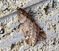 March Moth (8484194573).jpg