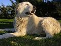 Maremma sheepdog.jpg