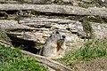 Marmota marmota Tauerntal 20160807 B04.jpg