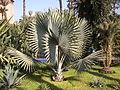 Maroc 2005 (531) BISMARCKIA rub.JPG