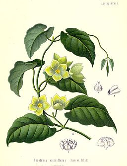 Marsdenia cundurango1