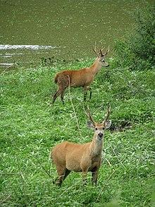 Marsh Deer Wikipedia