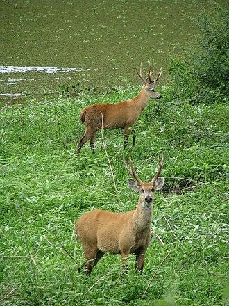 Marsh deer - Image: Marsh deer Two males Pantanal