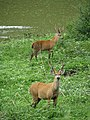 Marsh deer Two males Pantanal.jpg