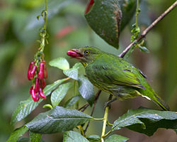 Masked fruiteater (Pipreola pulchra) photographed by devon pike in peru in 2011.jpg