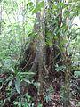 Matapalo Tree Miraflor, Esteli.jpg