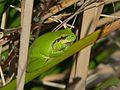 Mediterranean Tree Frog (Hyla meridionalis) (8329020131).jpg