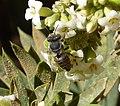 Megachilidae. Probably Megachile (Eutricharaea) pilidens female (32606211993).jpg