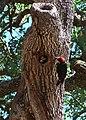 Melanerpes formicivorus. Male feeding nestling.jpg