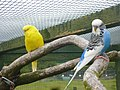 Melopsittacus undulatus -Fife Animal Park, near Collessie, Fife, Scotland -colour mutants-8a.jpg