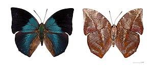 Memphis (genus)