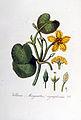 Menyanthes nymphoides — Flora Batava — Volume v5.jpg