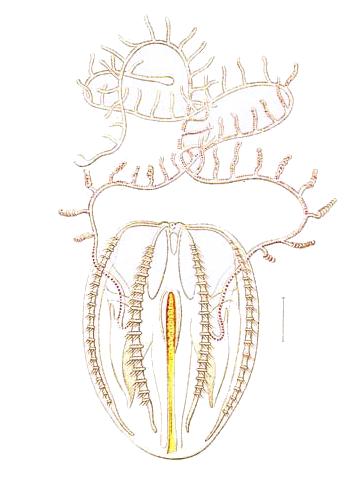 Mertensia ovum