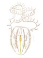 Mertensia ovum.png