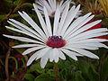 Mesembryanthemum 0.4 R.jpg