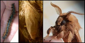 Metamorphosis of Malacosoma neustria.jpg