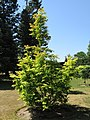 Metasequoia glyptostroboides 'Golden Oji' (28805502885).jpg