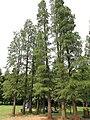 Metasequoia glyptostroboides - Kunming Botanical Garden - DSC03287.JPG