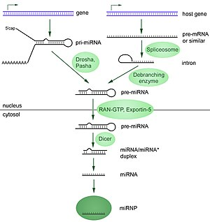 Dicer - Formation of miRNA used in RNA interference