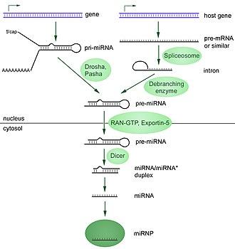 MicroRNA - Image: Mi RNA biogenesis