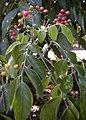 Micromelum minutum fruit and foliage.jpg