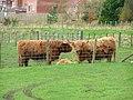 Mill farm Highland cattle - panoramio.jpg