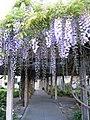 Mission Santa Clara gardens wisteria.jpg