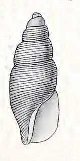 <i>Mitromorpha substriata</i> species of mollusc