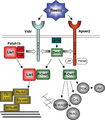 Model of Reelin and Lis1 signaling - journal.pone.0000252.g008.png